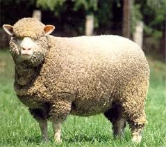 Меринос - овца