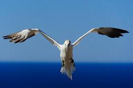 Из этой птицы добывают гагачий пух