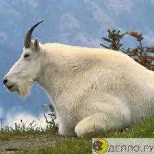 Кашемир - горная коза