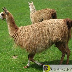Лама: из шерсти этого животного получаются замечательные детские одеяла.