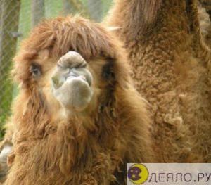 Верблюжье шерстяное одеяло
