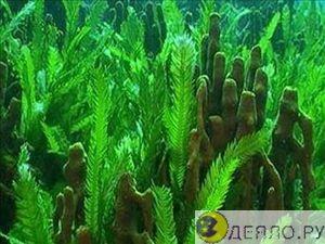 Морские водоросли - сила океана