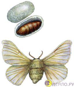 Шелкопряд - бабочка