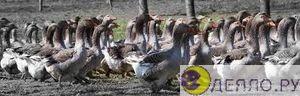 Стая гусей